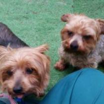 ADOPTED! - Double the pleasure, double the fun! Jack and Stella are a pair of bonded 7 year-old Yorkies who need to stay together. This sweet little pair came to us when their owner died and they had nowhere to go. They are looking for a very special person who is willing to commit to keeping them both healthy and happy. Stella is diabetic and needs to get insulin (not difficult, but needs to be given regularly), and Jack is on a special diet (also not difficult, but needs to be consistent). They are both, adorable, fun, and love to be active with you. Both have been vetted, vaccinated, microchipped, and are spayed and neutered. Please contact us through our Facebook page or the Contact page here with any questions about Jack or Stella. Because of their unique situation, we will only adopt them together, and their adoption fee is just $200 for both of them.