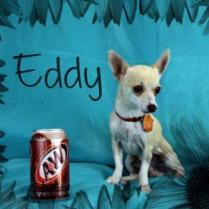 Cute as can be, tiny Eddy can almost fit into the palm of your hand! Eddy is around 2 years of age and weighs just 4 pounds. He loves to be as close to his person as he can get and will be your constant companion. If you're ready for a pint-sized sidekick, Eddy is the one for you. His adoption fee includes vaccinations, neuter, and microchip: $150.00