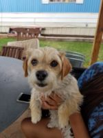Star - female Border Terrier mix, 2 years old