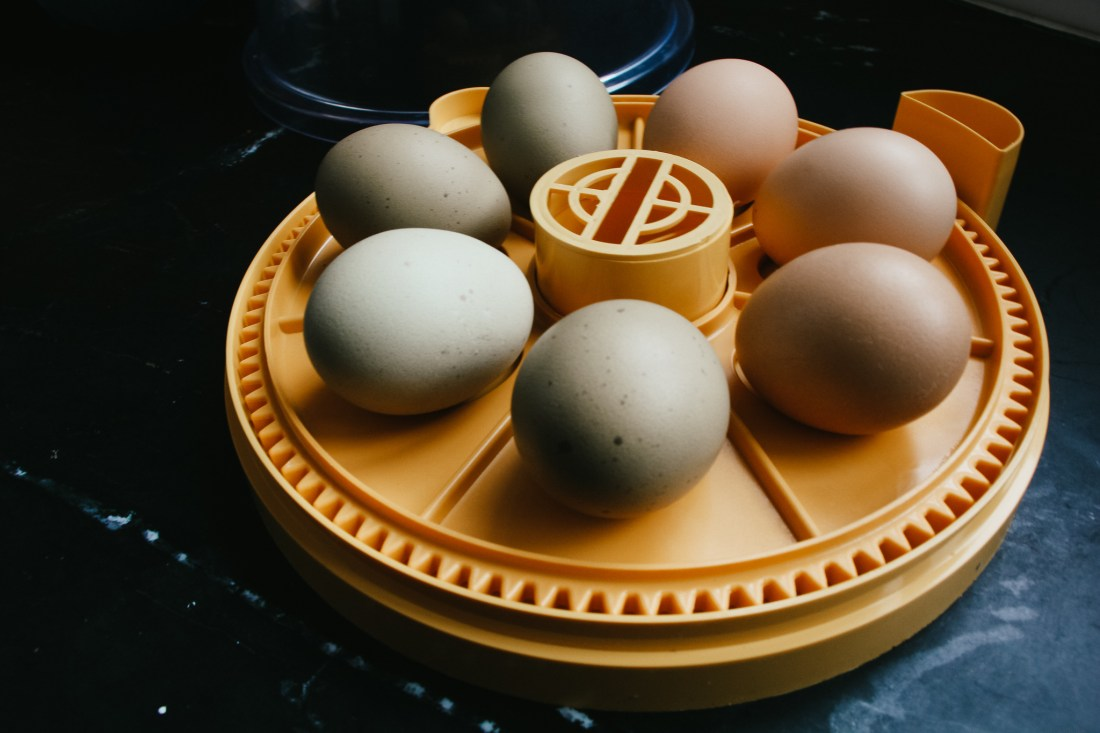 hatch eggs at home in an incubator