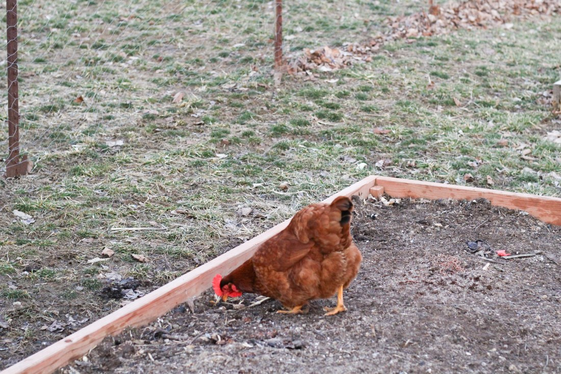 chickens composting garden beds