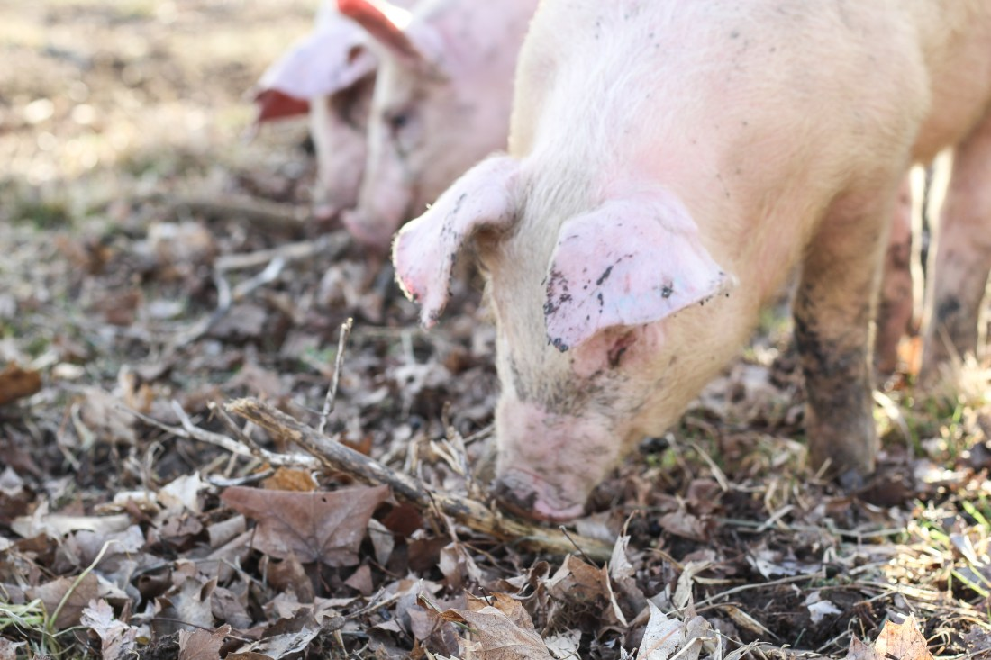 pastured berkshire pork