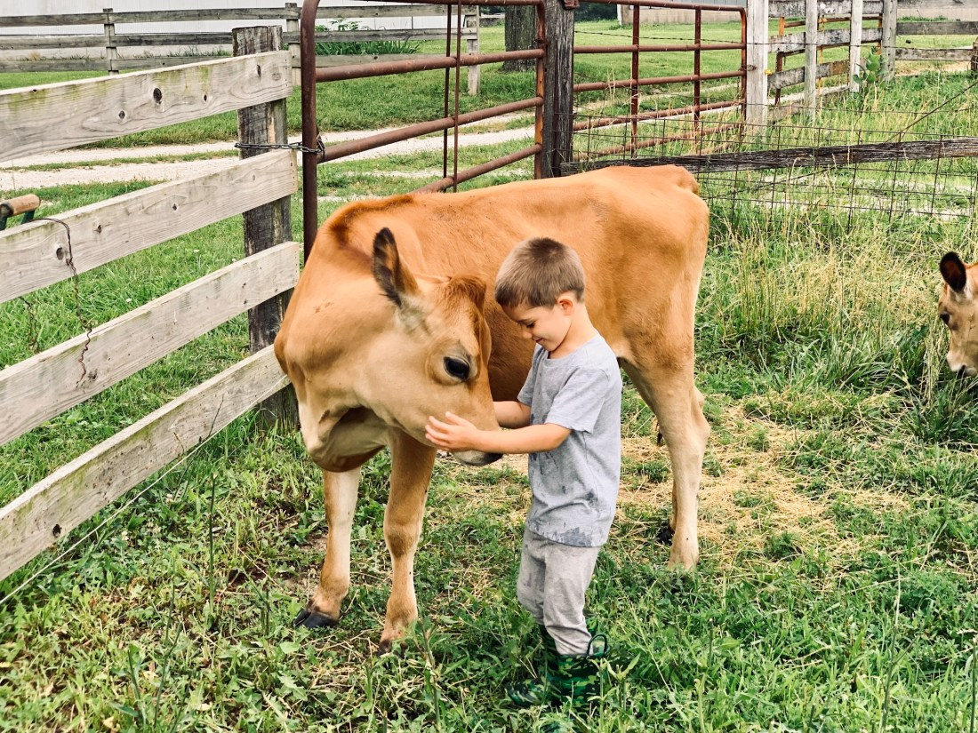 jersey heifer and boy