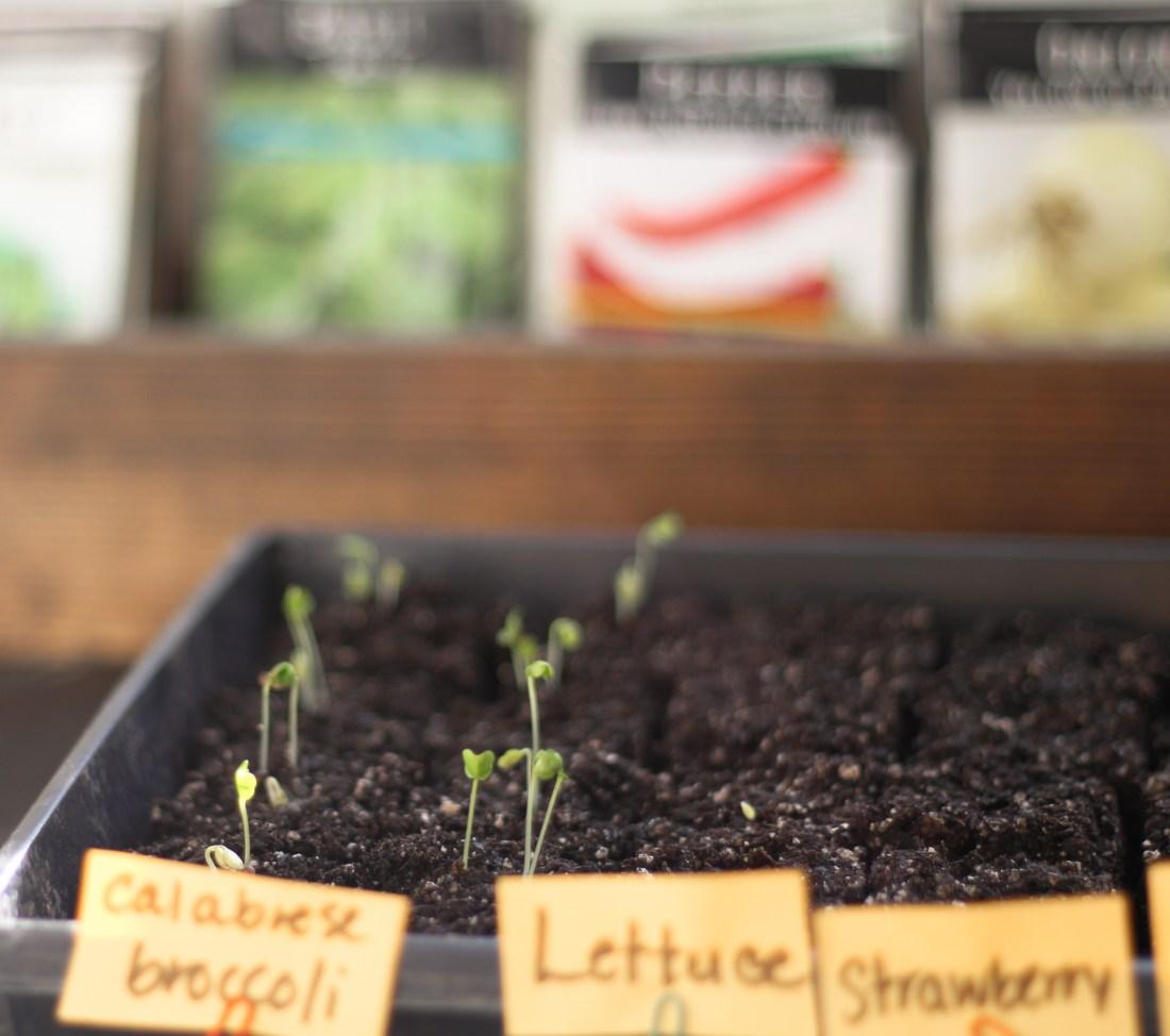seedlings sprouting