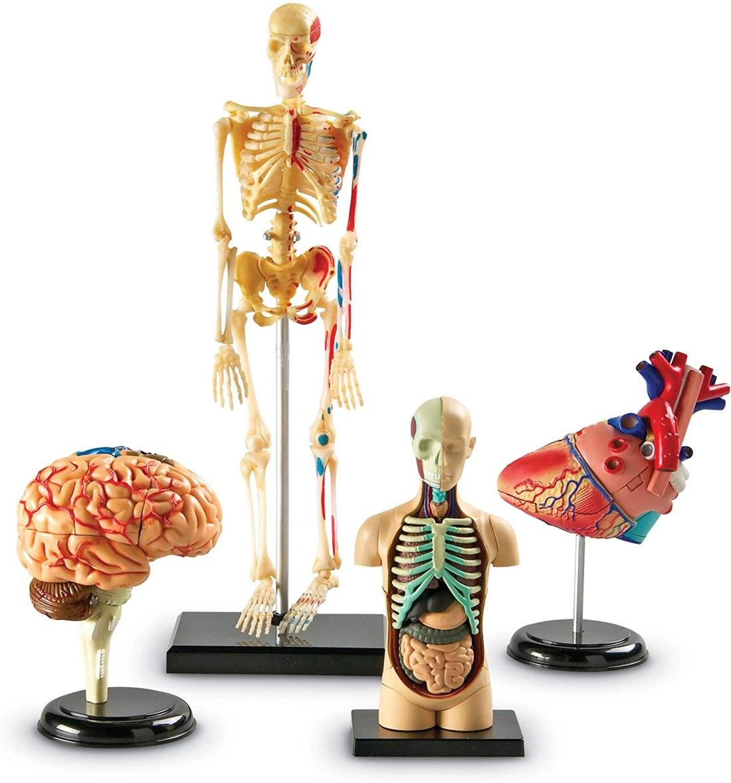 anatomy model bundle