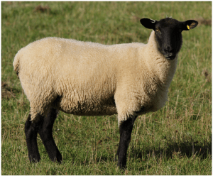 Suffolksheep