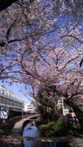 宿河原の桜 川崎の介護タクシー ホップ・ケア・タクシー