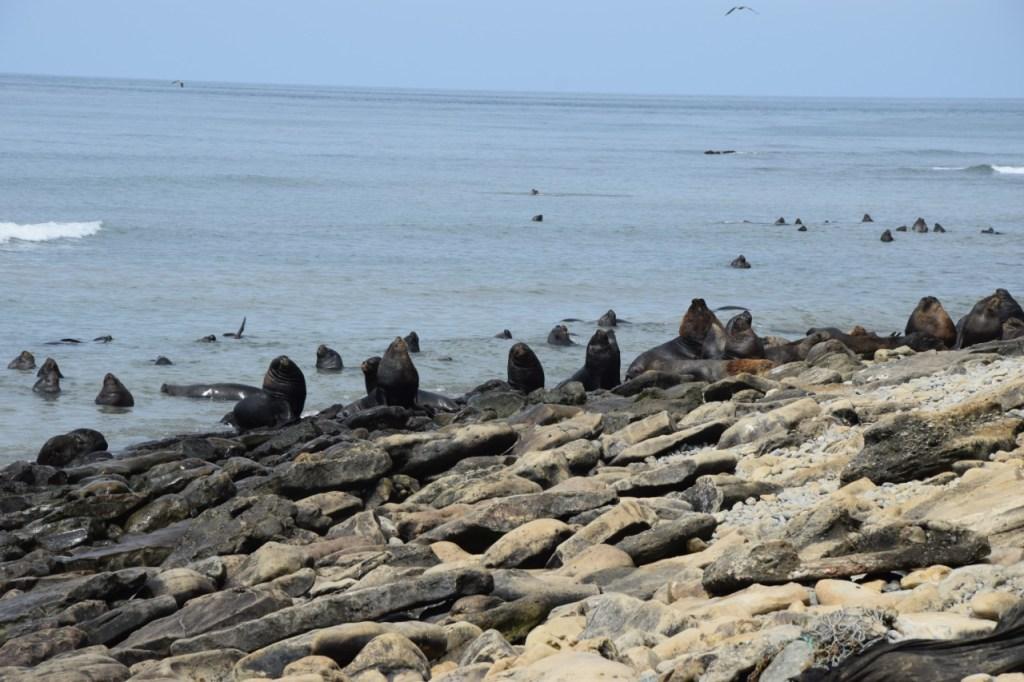 La Reserva Marina Santa Clara acoge hasta 240 lobos marinos, convirtiéndose en el hábitat perfecto para estos mamíferos acuáticos.