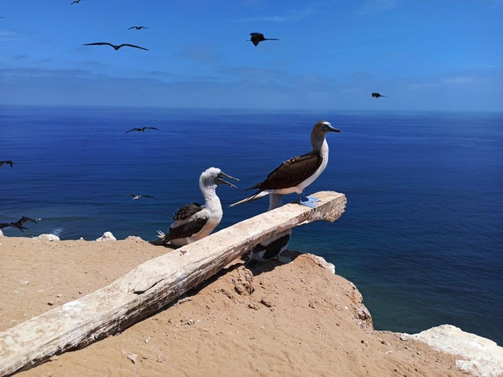 Alrededor de 5000 piqueros de patas azules habitan en la isla Santa Clara