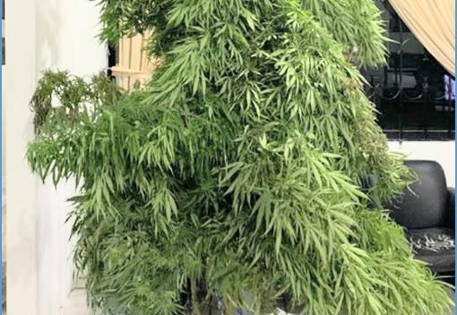 De esa planta se hubieran procesado alrededor de 50 mil dosis.