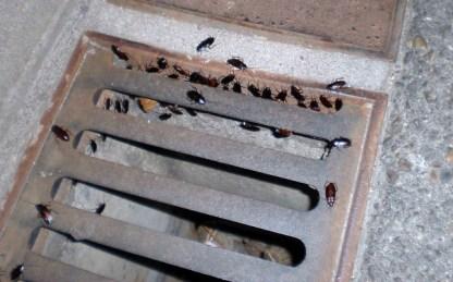 plaga de cucarachas en una comunidad