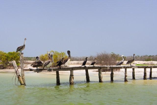 Pélican à Rio Lagartos