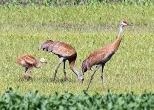 Sandhill Cranes on the Horicon Marsh