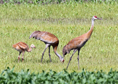 Sandhill Cranes on the Horicon Marsh
