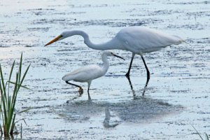 Great Egret and Snowy Egret at the Horicon Marsh