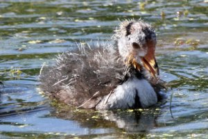 American Coot Chick at the Horicon Marsh