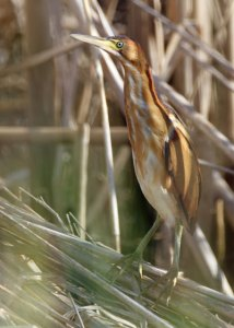 Least Bittern at the Horicon Marsh