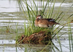 Wood Duck at the Horicon Marsh