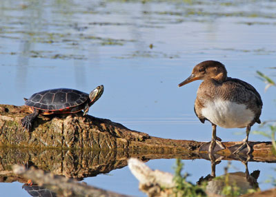 Hooded Merganser and Painted Turtle at the Horicon Marsh