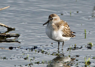 Juvenile Semipalmated Sandpiper at the Horicon Marsh