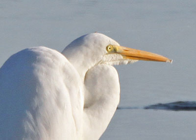 Great Egret at the Horicon Marsh