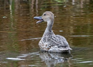 Female Northern Pintail at the Horicon Marsh