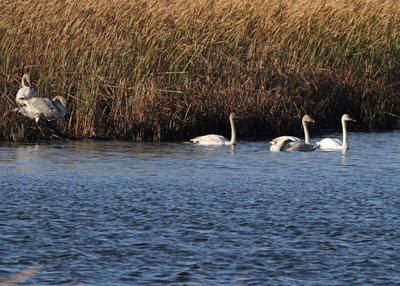 Trumpeter Swans at the Horcion Marsh