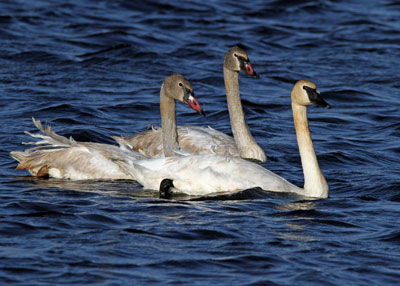 Trumpeter Swans on the Horicon Marsh