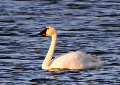 Tundra Swan at the Horicon Marsh