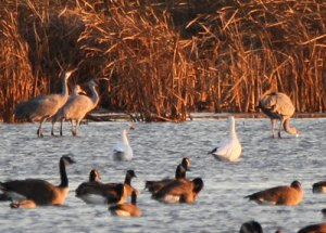 Snow Geese at the Horicon Marsh