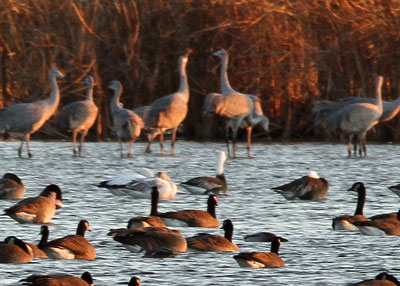 Blue Goose at the Horicon Marsh
