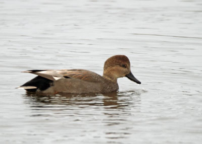 Gadwall at the Horicon Marsh