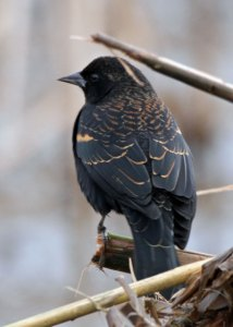 Immature Male Red-winged Blackbird at the Horicon Marsh