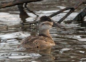 Ruddy Duck at the Horicon Marsh