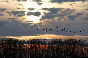 Canada Geese at the Horicon Marsh