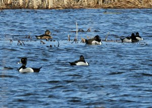 Ring-necked Ducks at the Horicon Marsh