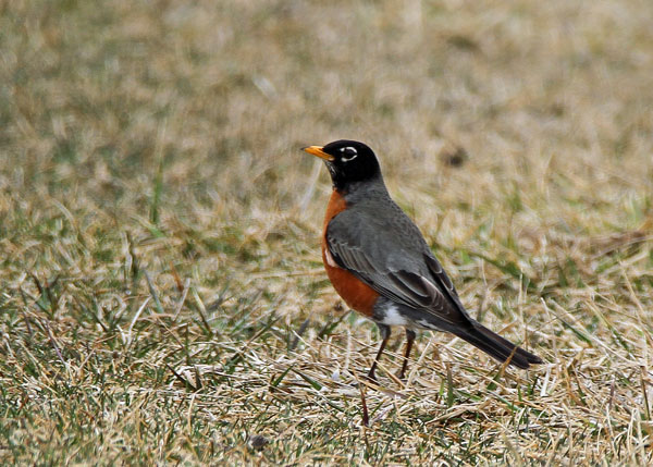 Male American Robin at the Horicon Marsh