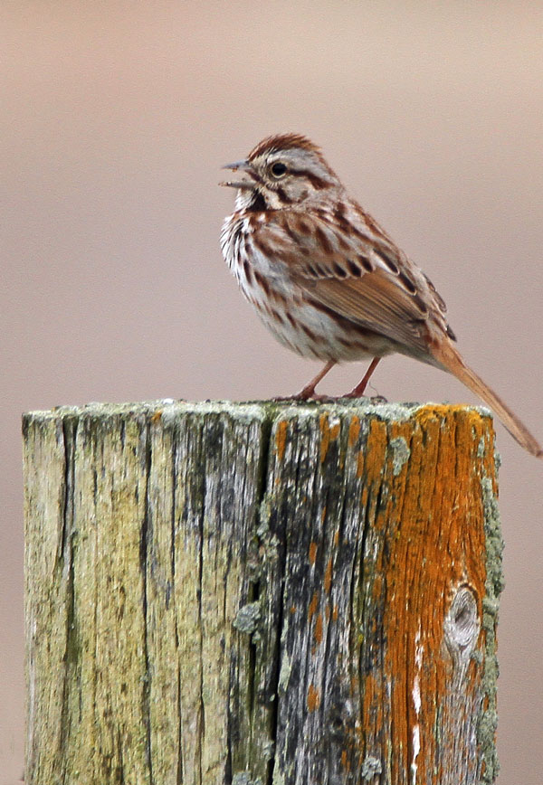 Song Sparrow at the Horicon Marsh