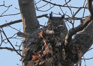 Female Great Horned Owl at the Horicon Marsh