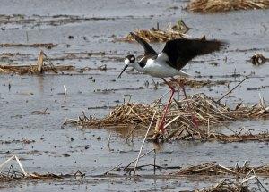 Black-necked Stilt at the Horicon Marsh