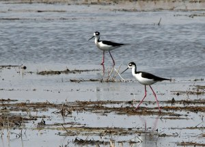Black-necked Stilts at the Horicon Marsh