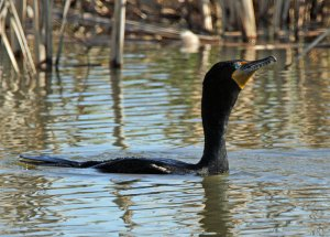 Double-crested Cormorant at the Horicon Marsh