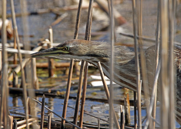 American Bittern at the Horicon Marsh