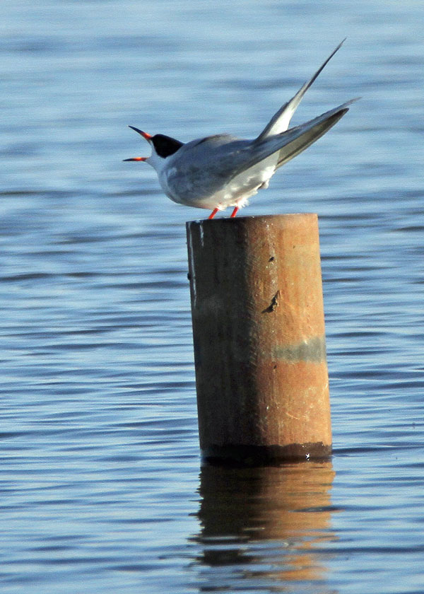 Forster's Tern at the Horicon Marsh