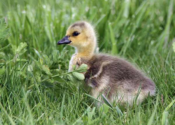 Gosling at the Horicon Marsh