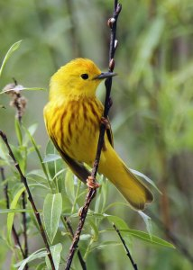Yellow Warbler at the Horicon Marsh