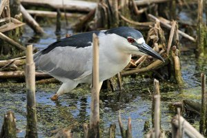 Black-crowned Night-Heron at the Horicon Marsh