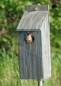 Occupied Nesting Box at the Horicon Marsh