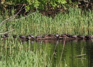Painted Turtles at the Horicon Marsh