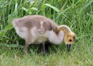 Canada Goose Gosling at the Horicon Marsh